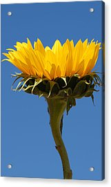 Acrylic Print featuring the photograph Sunflower And Sky by Susan D Moody
