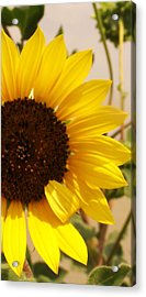 Acrylic Print featuring the photograph Sunflower by Diane Miller