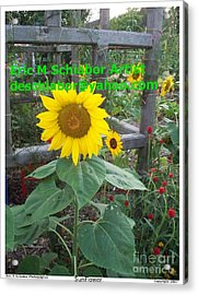 Sunflower Acrylic Print by Eric  Schiabor