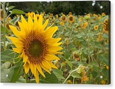Sun Flower Fields Acrylic Print by Miguel Winterpacht