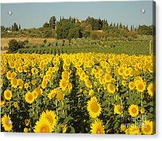 Sunflowers In Arezzo Acrylic Print