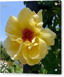 Sunny Yellow Rose Acrylic Print