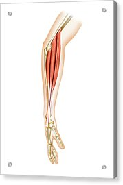 Superficial Muscles Of Forearm Acrylic Print by Asklepios Medical Atlas