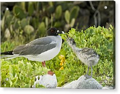 Swallow-tailed Gull Chick And Adult Acrylic Print by William H. Mullins