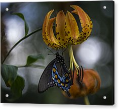 Swallowtail On Turks Cap Acrylic Print