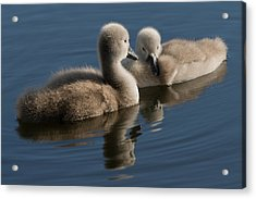 Swan Babies Acrylic Print by Michael Mogensen