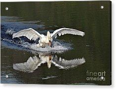 Swan Landing Acrylic Print by Simona Ghidini