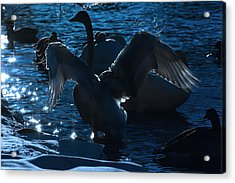 Swan Spreads Its Wings Acrylic Print by Tommytechno Sweden