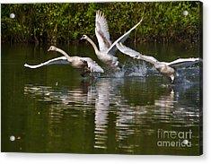 Swan Take-off Acrylic Print