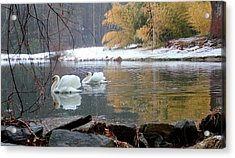 Swans In Winter Acrylic Print by Chris Burke