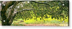 Sycamore Tree In Mustard Field Acrylic Print by Panoramic Images
