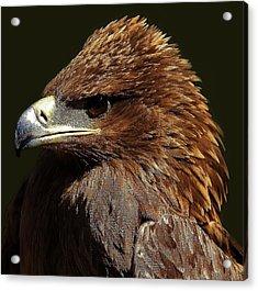 Tawny Eagle Acrylic Print by Paulette Thomas