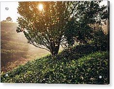 Tea Plantation In India Acrylic Print by Oleh slobodeniuk