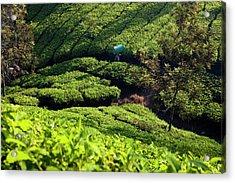 Tea Plantations, Munnar, Western Ghats Acrylic Print