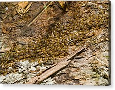 Termites On Log Acrylic Print by William H. Mullins