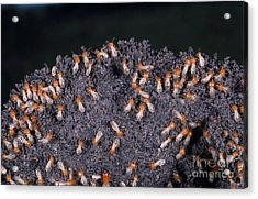Termites Rebuilding Mound Acrylic Print by Gregory G. Dimijian, M.D.