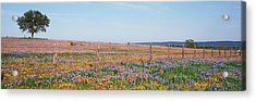 Texas Bluebonnets And Indian Acrylic Print by Panoramic Images