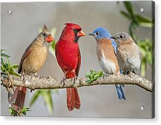 The Bluebirds Meet The Redbirds Acrylic Print