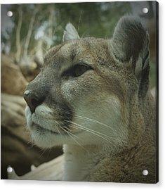 The Cougar 3 Acrylic Print by Ernie Echols