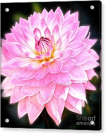 The Vivid Pink Dahlia Acrylic Print by Margie Amberge