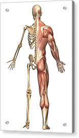 The Human Skeleton And Muscular System Acrylic Print by Stocktrek Images