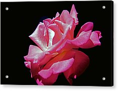 The Last Rose Of Summer Acrylic Print