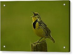 The Meadowlark Sings Acrylic Print by Jeff Swan