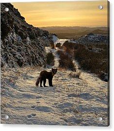 The Pine Marten's Path Acrylic Print