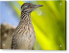 The Roadrunner  Acrylic Print by Saija  Lehtonen