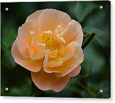 The Rose Acrylic Print by Joe Bledsoe