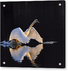 The Swan Of Zoar Acrylic Print by Terry Cosgrave