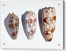Three Conus Cone Shells That Can Kill Man Acrylic Print by Paul D Stewart