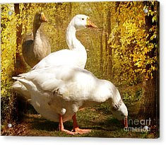 Acrylic Print featuring the photograph Three Geese A Grazing by Chris Armytage