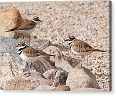 Three Killdeer On Rocks Acrylic Print