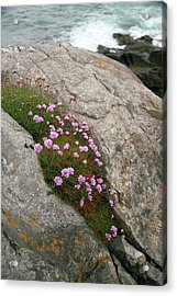 Thrift (armeria Maritima Miller) Acrylic Print by Chris Dawe/science Photo Library