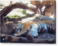 Tiger At Rest Acrylic Print by Barb Baker