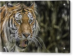 Acrylic Print featuring the photograph Tiger by Chris Boulton