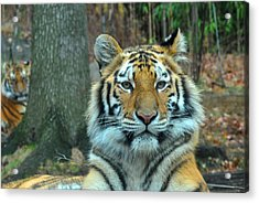 Tiger Bronx Zoo Acrylic Print
