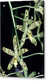 Tiger Orchid Flowers Acrylic Print by Paul Harcourt Davies/science Photo Library