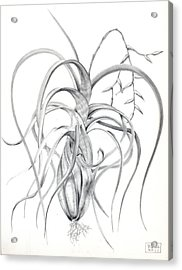 Tillandsia Flexuosa Acrylic Print