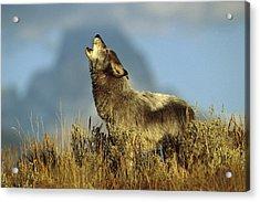 Timber Wolf Howling Idaho Acrylic Print