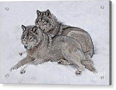 Timber Wolf Pair Acrylic Print