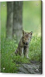 Timber Wolf Pup Acrylic Print