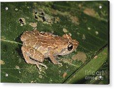 Tink Frog Acrylic Print