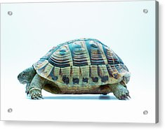 Tortoise Acrylic Print by Gustoimages/science Photo Library