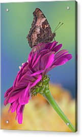 Tortoise-shell Butterfly, Nymphalis Acrylic Print