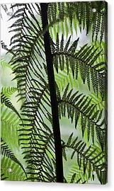 Tree Fern In Melba Gully, Great Otway Acrylic Print by Martin Zwick
