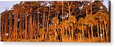 Trees, Hunting Island State Park Acrylic Print