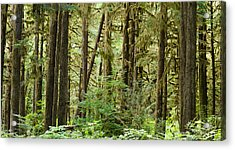 Trees In A Forest, Quinault Rainforest Acrylic Print