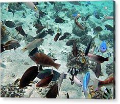 Tropical Fish, Malolo Lailai Island Acrylic Print by David Wall